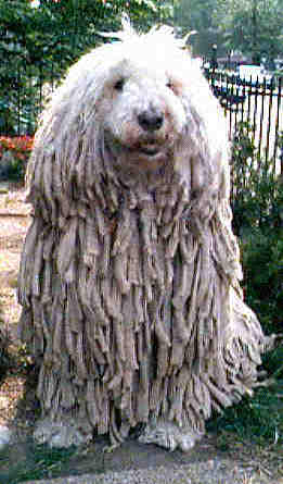 Noodlehead: aka Elusca the Wonderdog. Elusca is a Hungarian Komondor. Her fur grows like that naturally; she is supposed to look like this (except that I've trimmed her face so that you can seeher beautiful eyes!